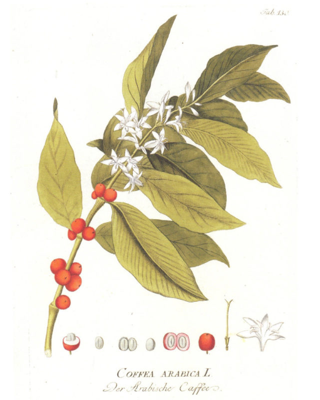 Ritter von Plenck, J.J. (1798). Icones plantarum medicinalium (Vol. 2). Vienna. (Handbook Series - Coffee Biology - Field Glossary, SCAA, 2013 Edition).