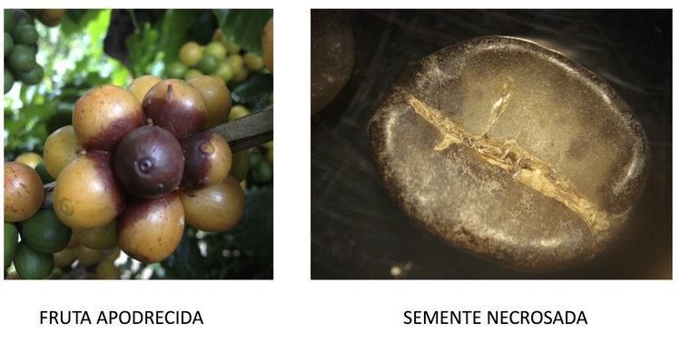 fruta-apodrecida-alcaloides